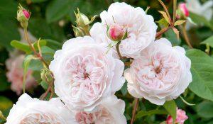 roze o wielkich i pachnacych kwiatach